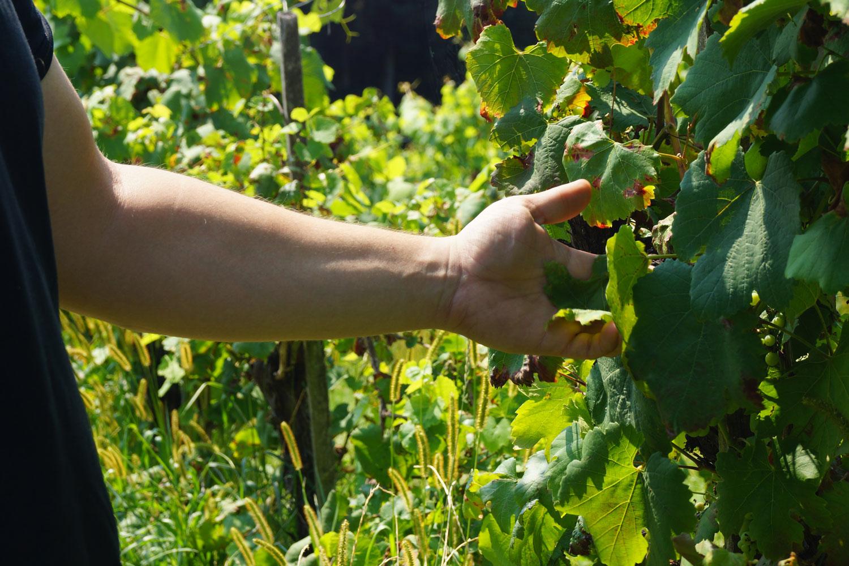 Hand-im-Weingarten-mit-Trauben